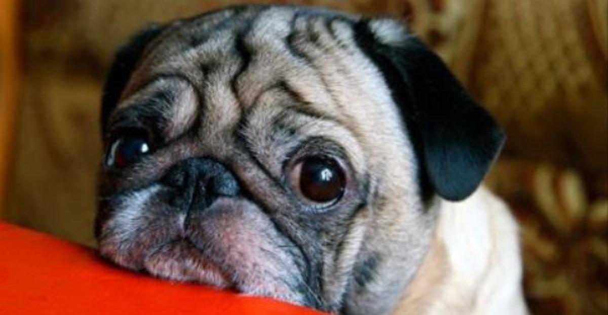 avere-un-carlino-significa-sostenere-la-crudeltà-sugli-animali