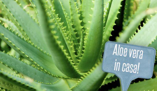 Gli eccezionali benefici dell' aloe vera : La pianta della vita ...