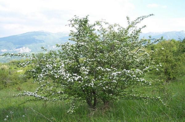 Il comunissimo Biancospino,la pianta che fa miracoli con il cuore e non solo.I benefici