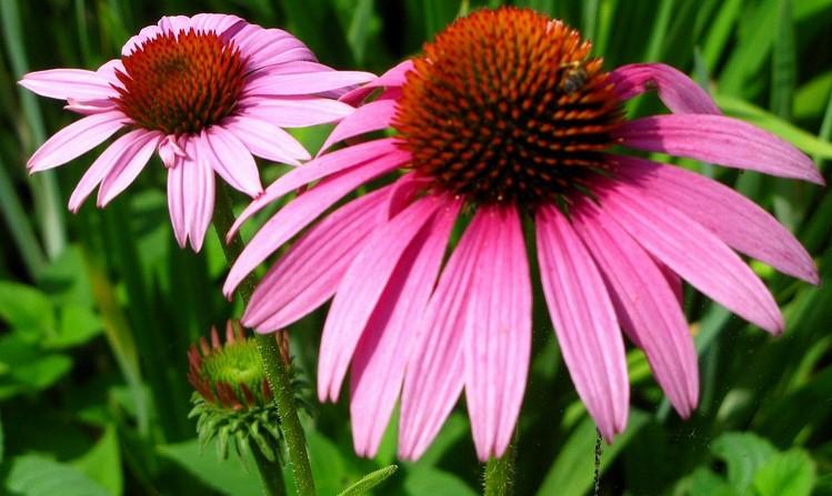 """Echinacea,la pianta che ci """"ripara"""" dalle malattie invernali.Cura l'influenza in modo naturale"""