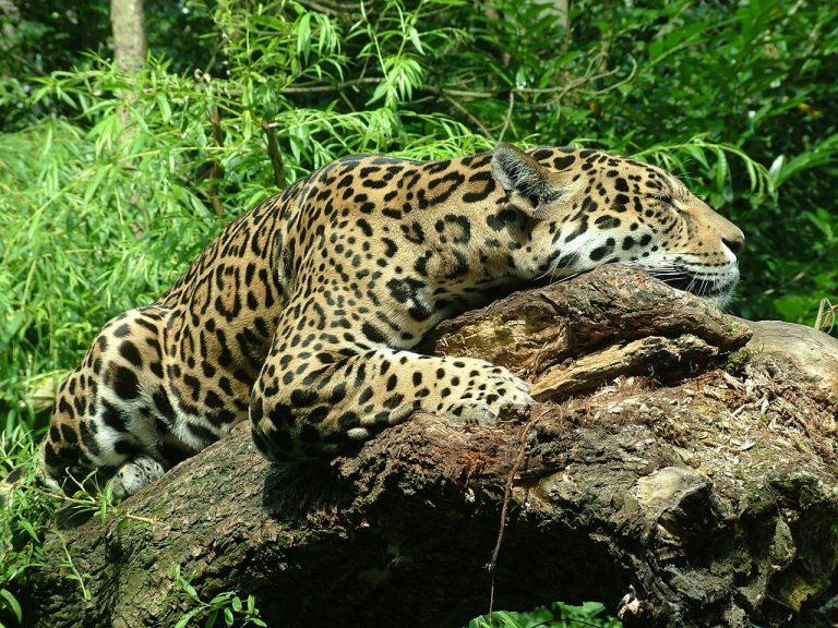 Il giaguaro è sull' orlo dell' estinzione a causa degli incendi in Amazzonia