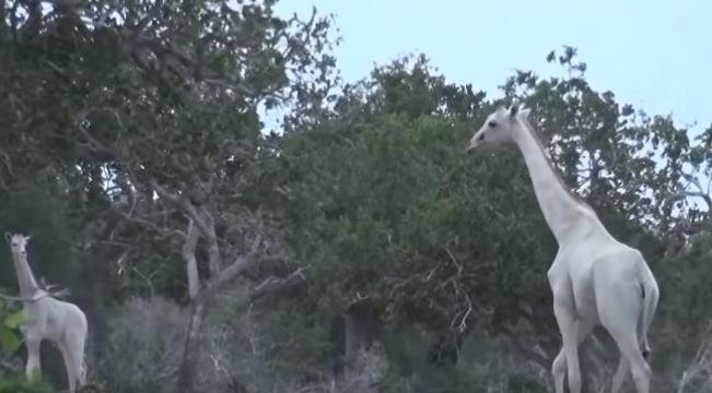 Due giraffe bianche compaiono in Kenya. Esemplari rarissimi.VIDEO