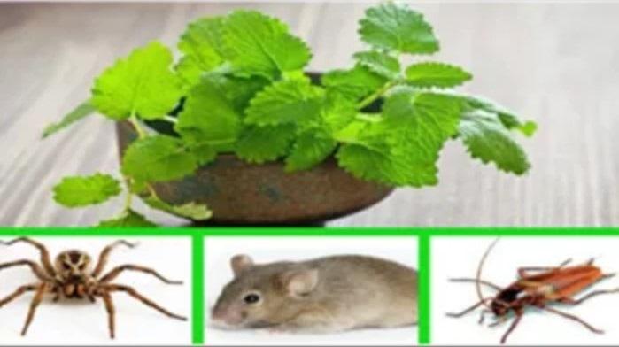 Allontanare da casa topi scarafaggi e ragni: basta una pianta di menta