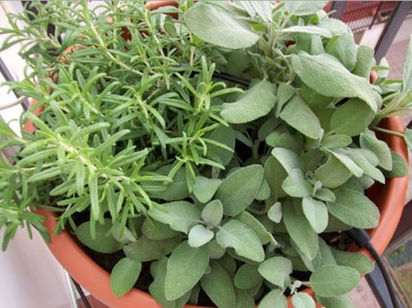 Due miracolose piante bibliche efficaci contro l' Alzheimer