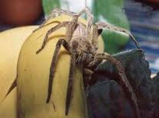 Allarme in Italia,ragni velenosi capaci di uccidere nelle banane