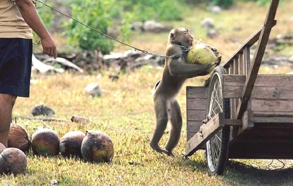 Scimmie ridotte in shiavitù per raccogliere noci di cocco