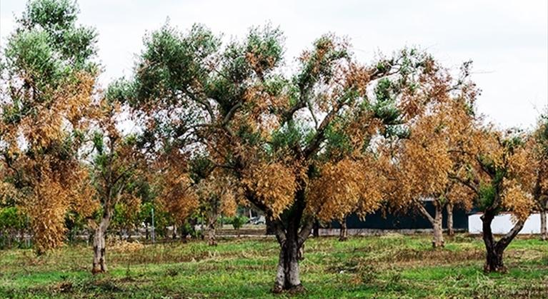 Xylella: una sceneggiata pilotata dalla Monsanto per sterminare i nostri ulivi? Ecco a che scopo