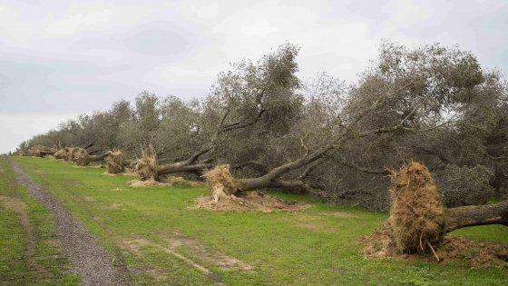 Xylella gasdotti e pesticidi in Puglia.Ecco cosa succede alle nostre spalle