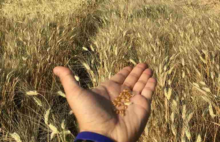 grano al glifosato