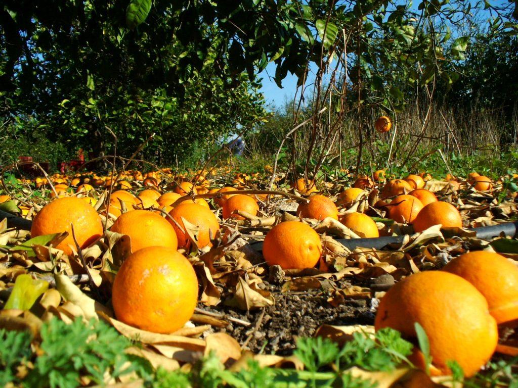 le arance italiane non si vendono