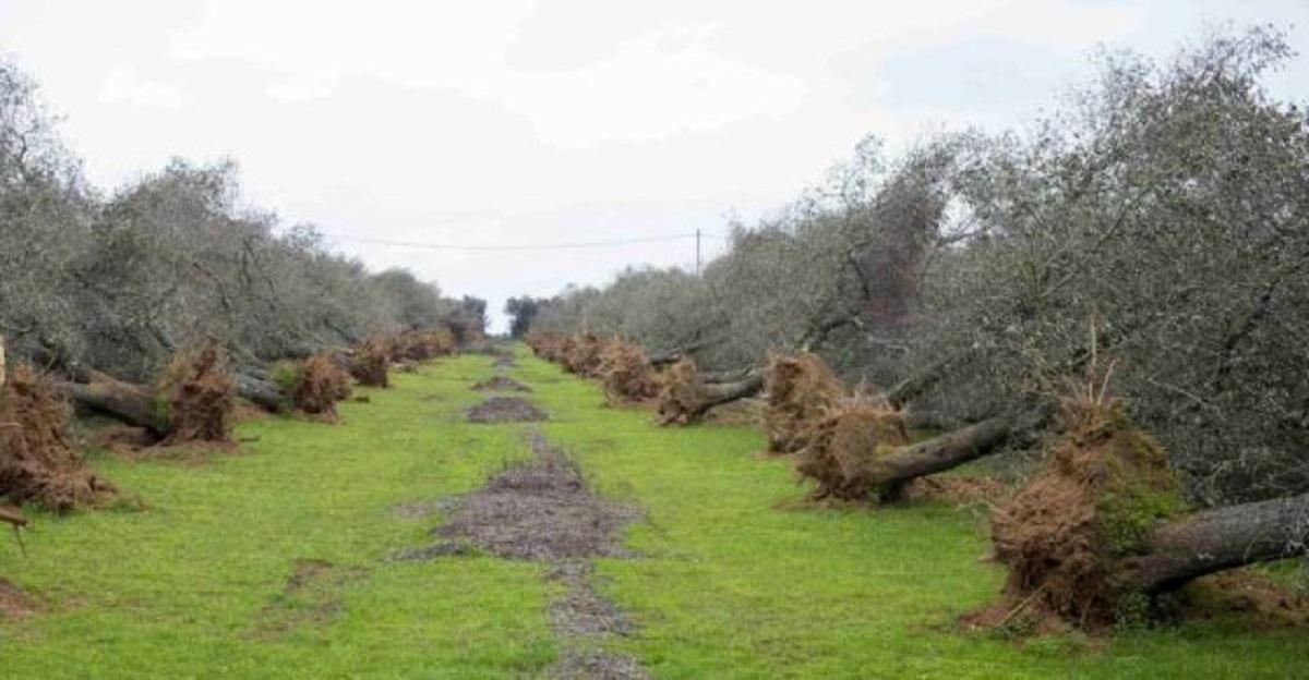 Sara Cunial: In Puglia continua la strage silenziosa degli ulivi con il pretesto Xylella