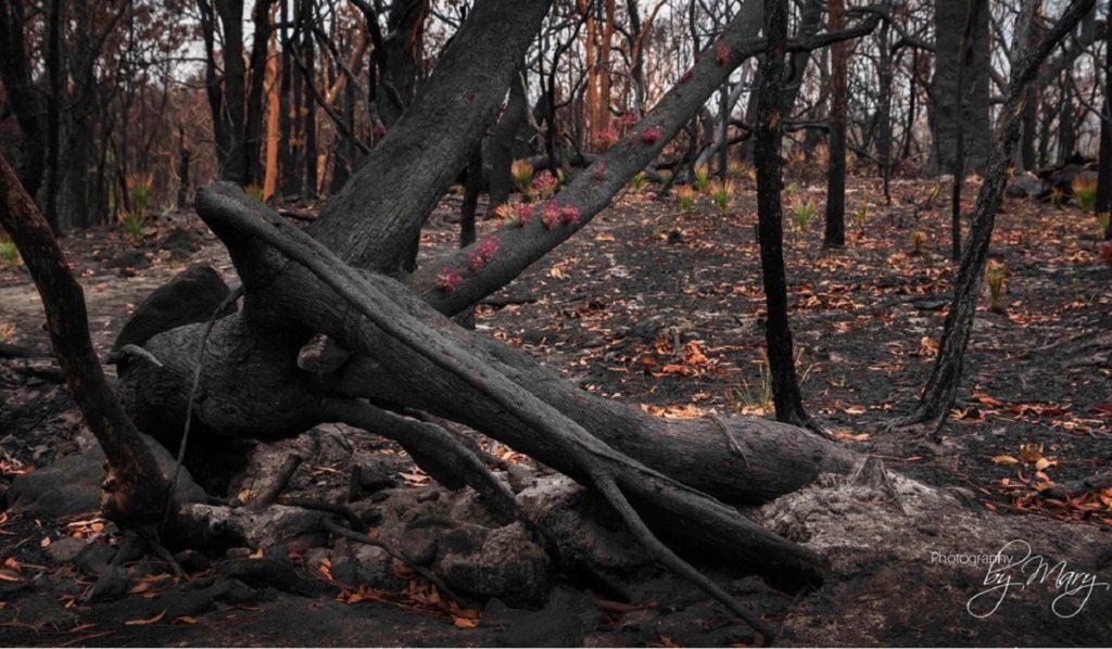 germogli incendi Australia