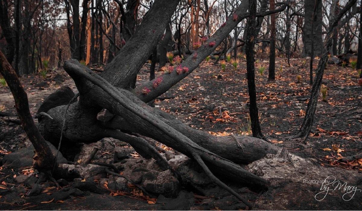 La rivincita della natura in Australia. Le foreste si rifiutano di morire e ricominciano a germogliare