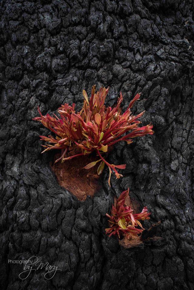 germogli incendi foreste Australia 4