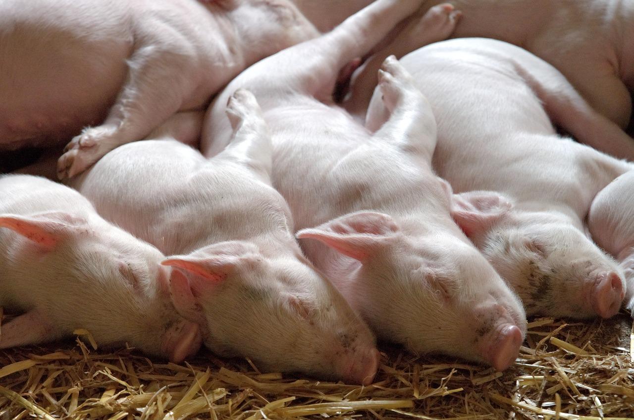 Padova. Peste suina: sequestrate 10 tonnellate di carne cinese proveniente dall'Olanda