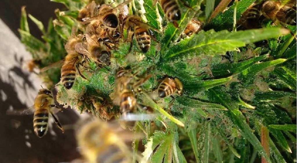 salvare le api con la canapa