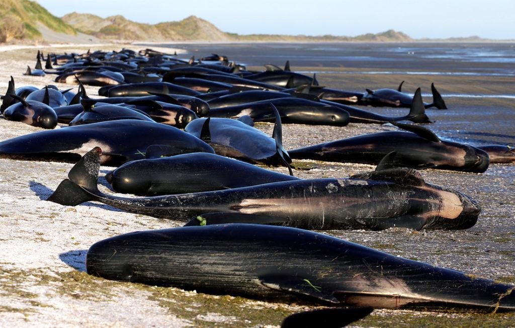 mattanza balene Isole Faroe Danimarca