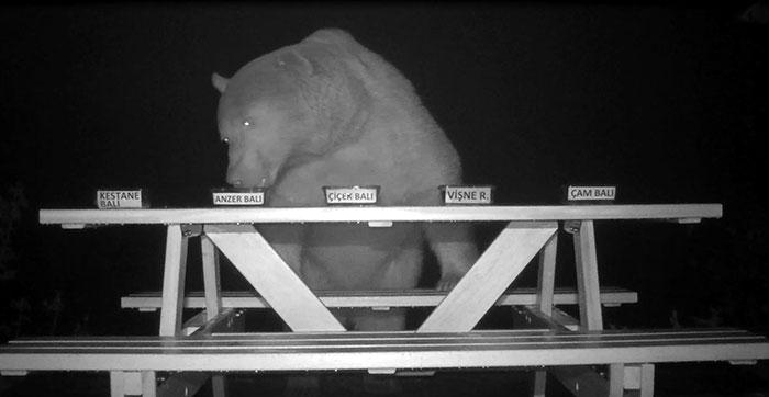 orso assaggiatore miele 2