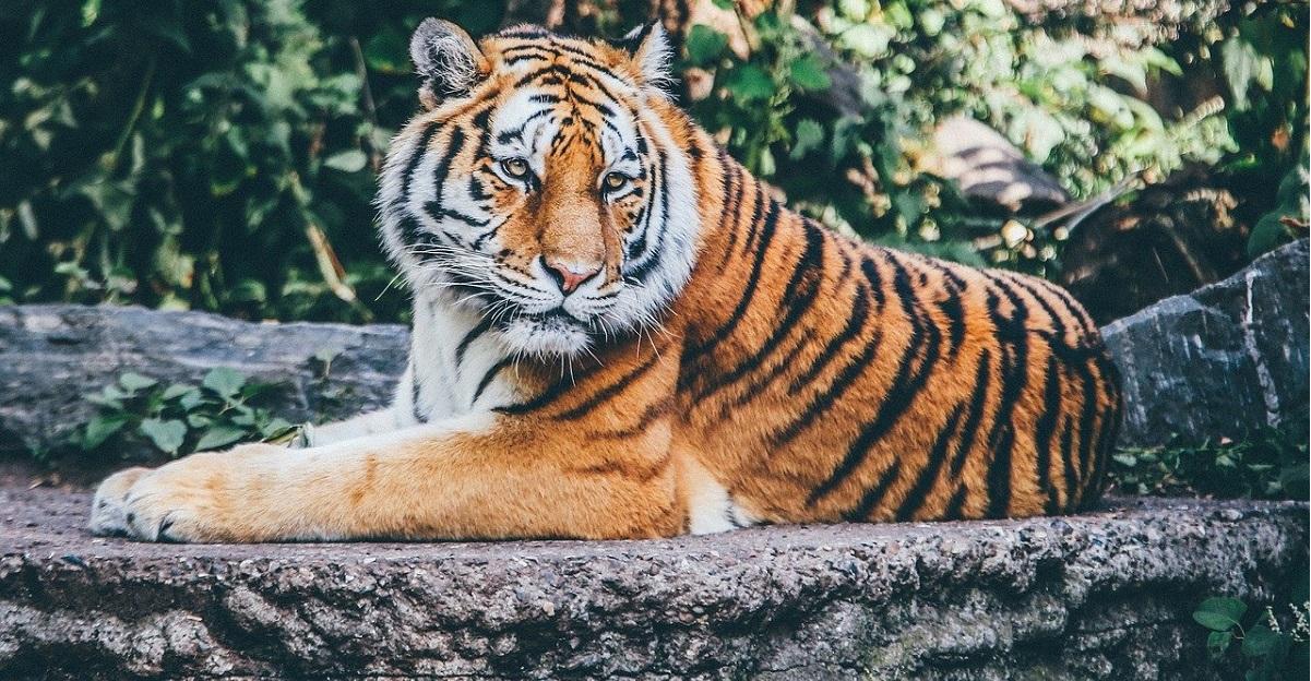 tigre coronavirus bronx zoo new york