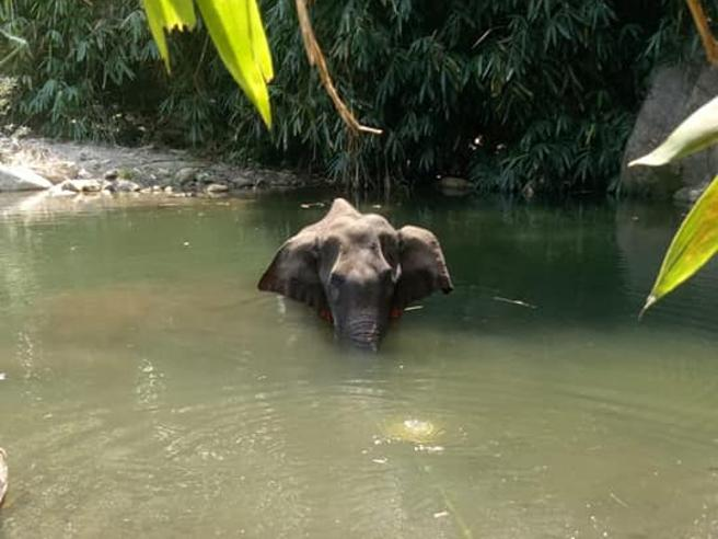 elefante ucciso con petardi in ananas India