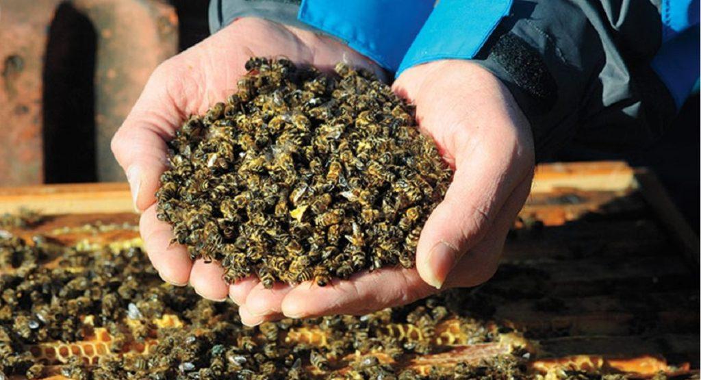 le api stanno morendo