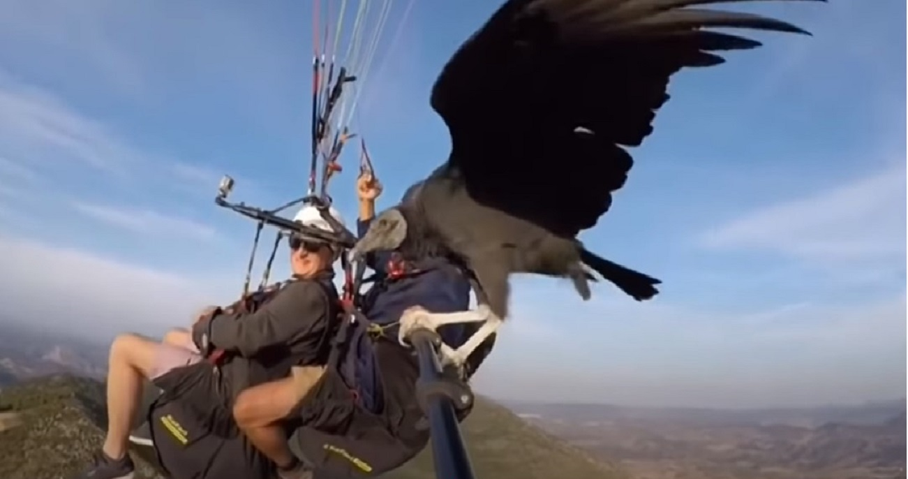 avvoltoio guida parapendio in volo mason